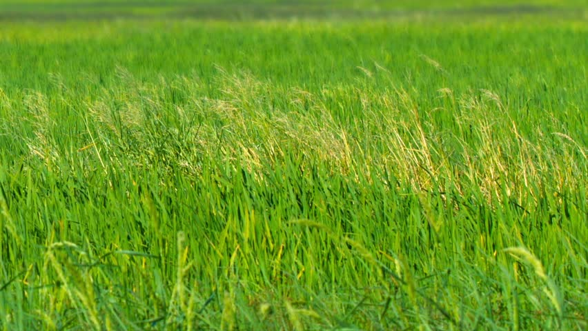 Video FullHD (1920x1080) - Stalks and heads of lowland rice. growing in a paddy. swaying gently in a light breeze on a local farm. - HD stock video clip