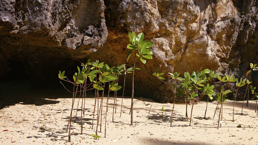 Video 1080p - Young mangrove shoots. growing from the sand behind the protection of a limestone formation. swaying in a gentle sea breeze.