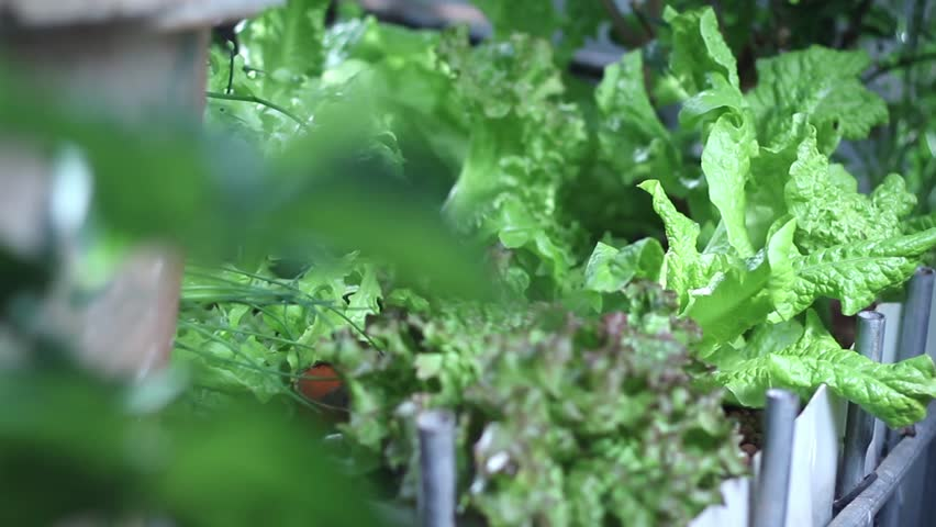 Vegetables in the farm. - HD stock video clip
