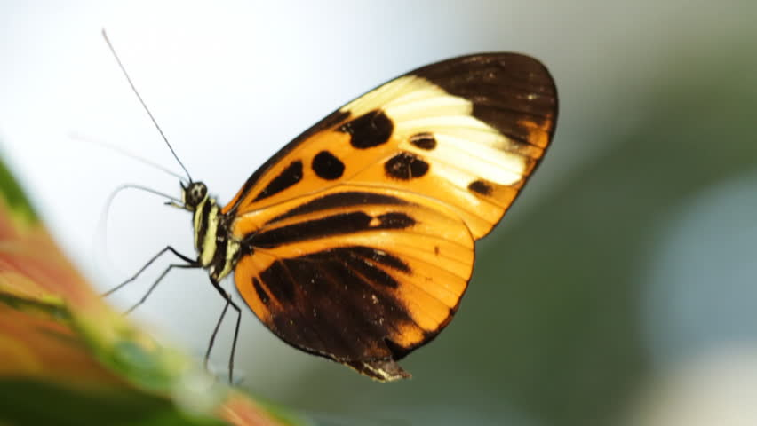 Longwing Butterfly feeding on nectar. HD 1080p