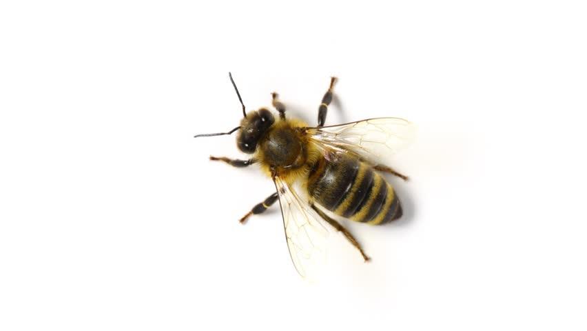Wasp Isolated On White...