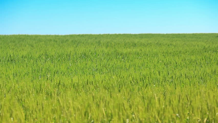 Wheat green field against the blue sky - HD stock footage clip