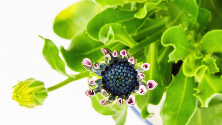 Header of African daisy