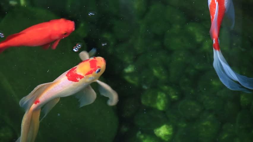 Beautiful koi, fancy carp swimming in a pond - HD stock video clip