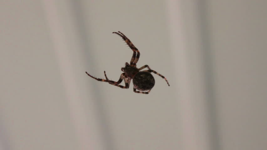 Large black spider weaves a web.   Shutterstock HD Video #10373309