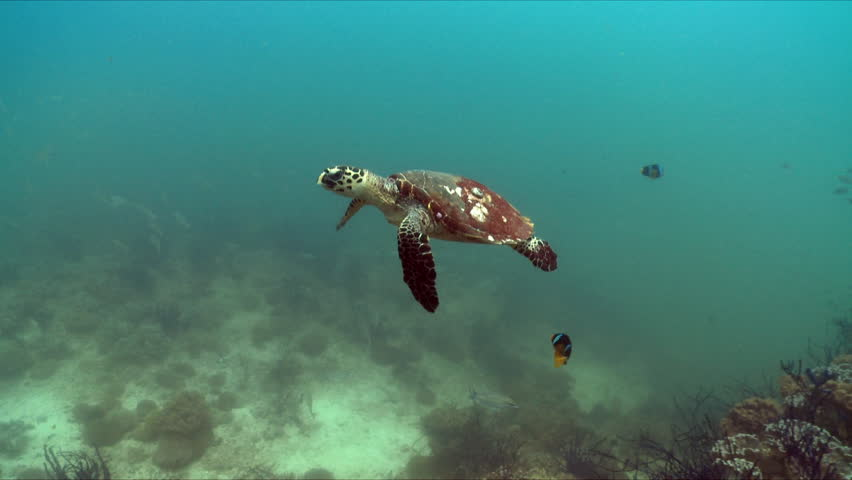 Hawksbill turtle swimming over a coral reef in the bright turquoise waters in the Arabian Sea in Oman