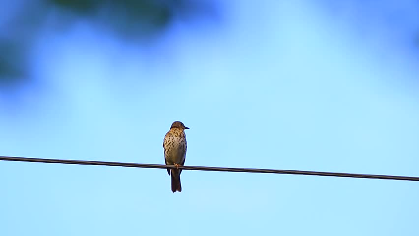 Song thrush against the blue sky with a natural sound | Shutterstock HD Video #10479113