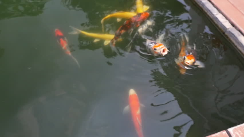 Close up a group of fancy carp, Koi carps swim in the pond, Slow motion shot - HD stock footage clip
