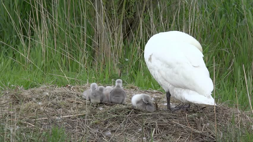 swan with ducklings in the nest - 4K stock video clip