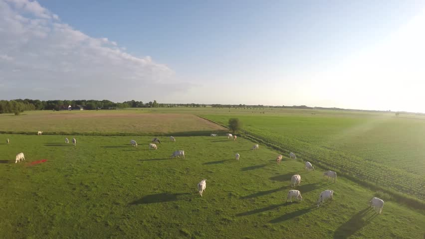 Aerial view of green grass landscape with white flesh cows in the field camera turning at about 20 meters above the ground during sundown bright light footage clip from field with white cows 4k  | Shutterstock HD Video #10505591