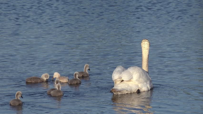 swan with ducklings swimming in the lake  - 4K stock video clip