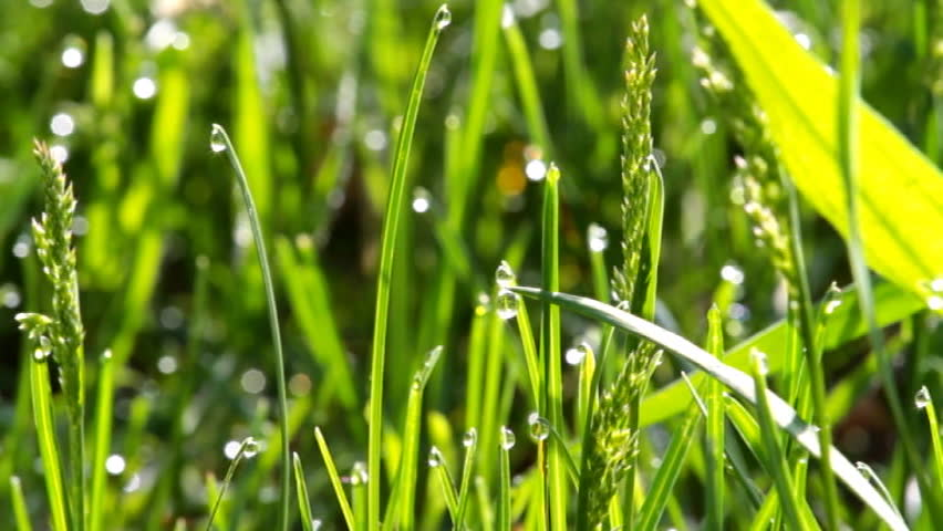 Grass with morning dew - SD stock video clip