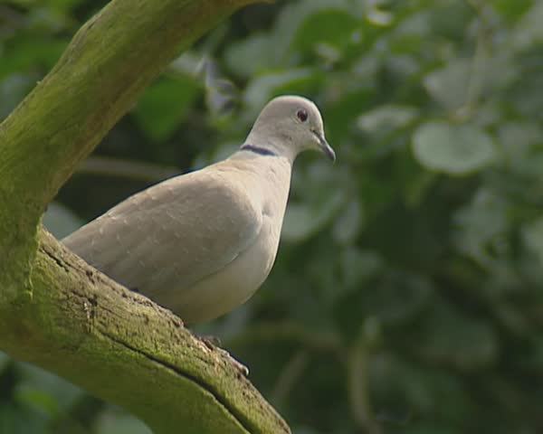 Streptopelia Decaocto, Eurasian Collared Dove, perched on a branch - low angle. - SD stock video clip