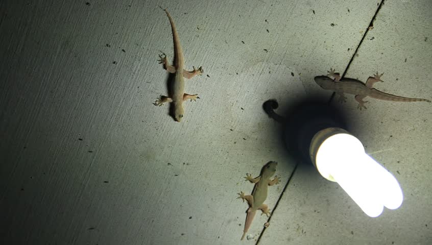 House lizards (gecko) on ceiling catch insects, mosquitoes and bugs around a light at night time