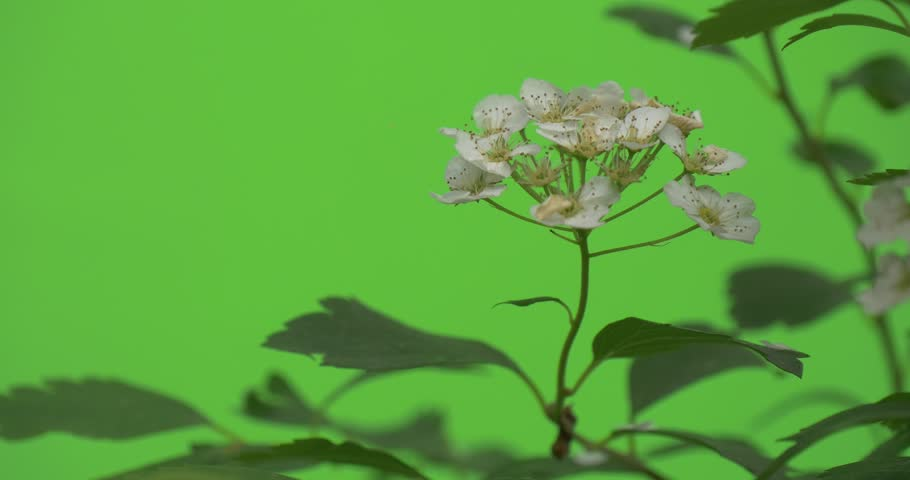 Header of spiraea