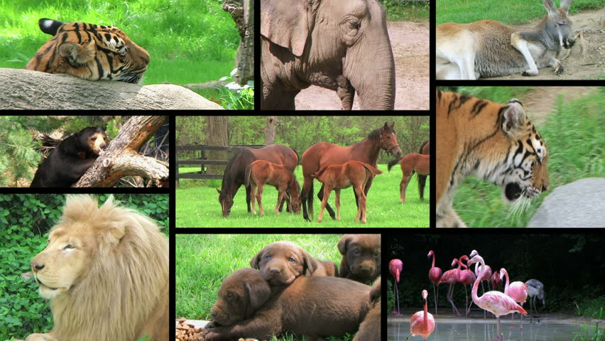 Wildlife montage of beautiful animals in the wild and in captivity.