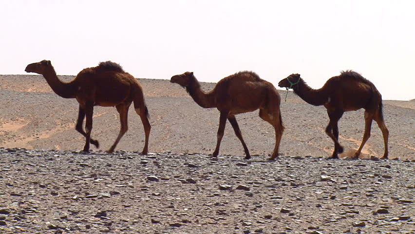 Camels walking - HD stock video clip