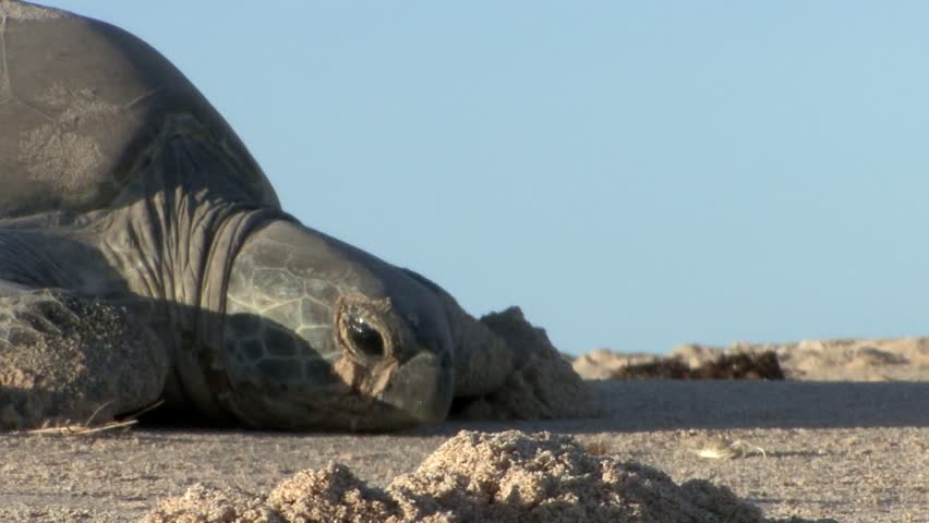 Tight in Shot of Adult Female Green Turtle Dragging Herself Along Sand - HD stock video clip