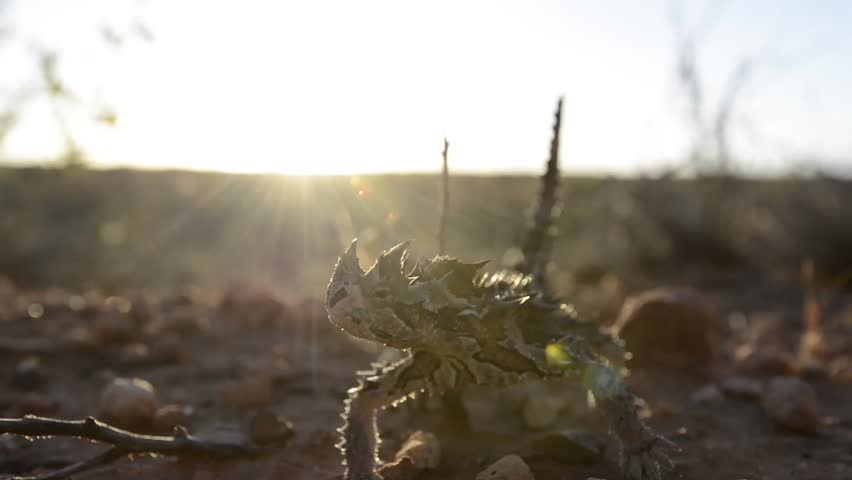 Thorny Devil Stepping Forward - HD stock video clip