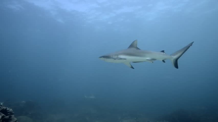 Grey Reef Shark Comes to Investigate at Cleaning Station - HD stock footage clip