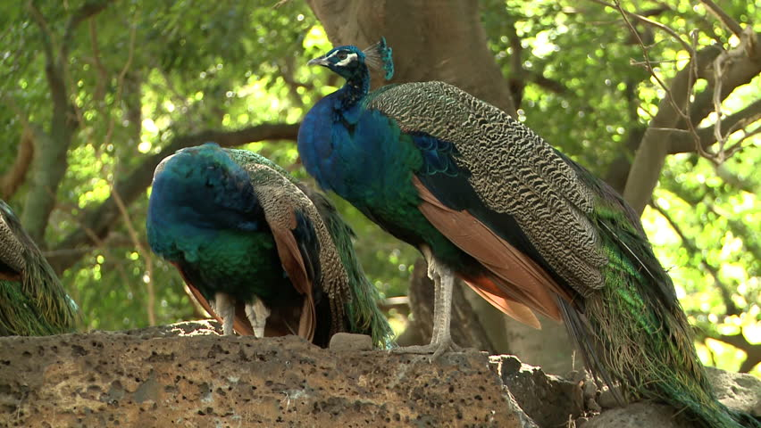 Peacock In The Jungle,Mauritius Stock Footage Video ...