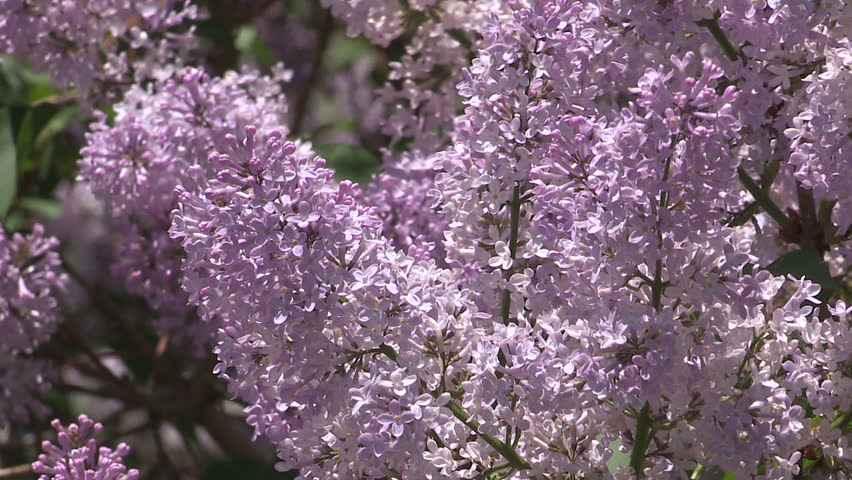 Waterloo, Ontario, Canada - May 2015 Lilac bushes in full bloom in the spring  | Shutterstock HD Video #10821356