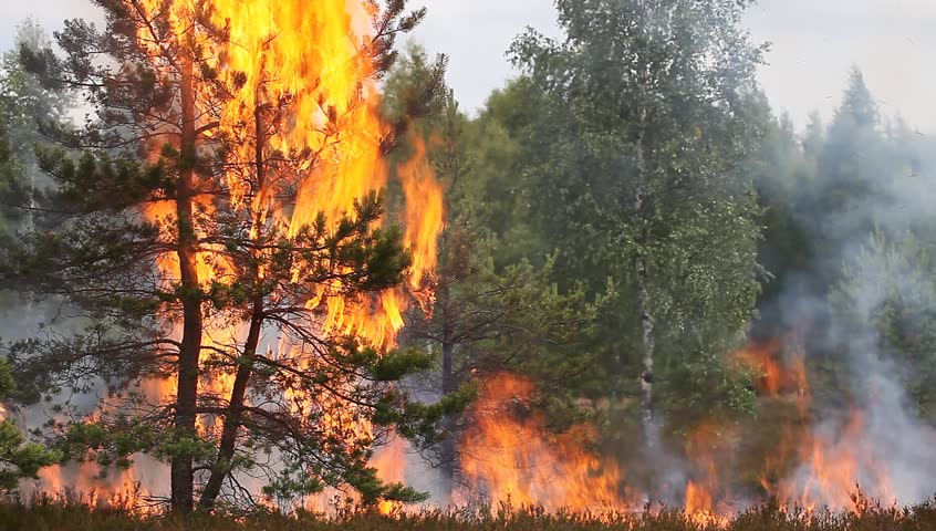Forest fire flames Appropriate to visualize wildfires or prescribed burning characteristic for northern Europe and Asia: UK, Scandinavia, Russia, Baltic states etc., wood of conifers in any country. - HD stock video clip