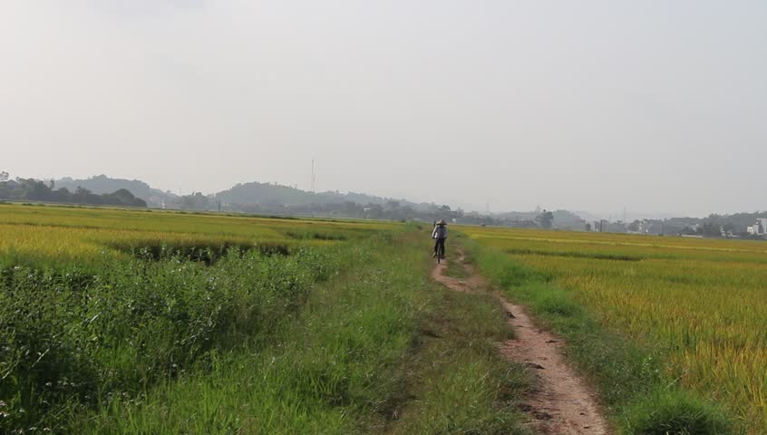 HAI DUONG, VIETNAM, June, 12; man cycling on rice fieldson June 12, 2015 in Hai Duong, Vietnam  - HD stock footage clip