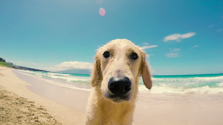 Close Up Shot of a Golden Retriever Looking into the Camera and Sniffing with his Nose at the Beach.