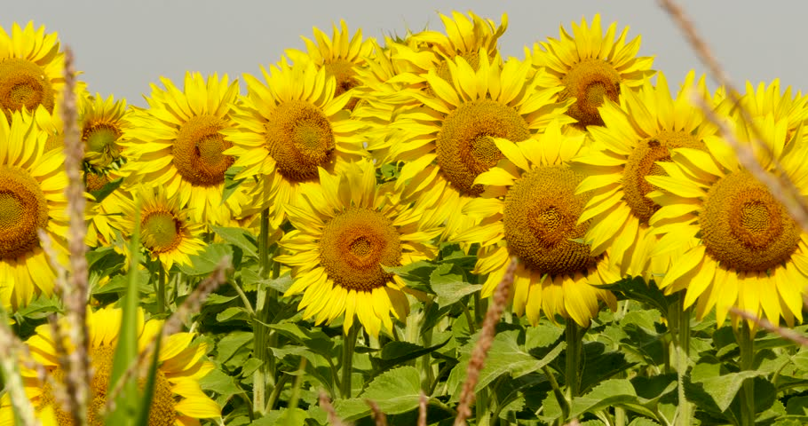 sunflower field picture blooming - photo #26