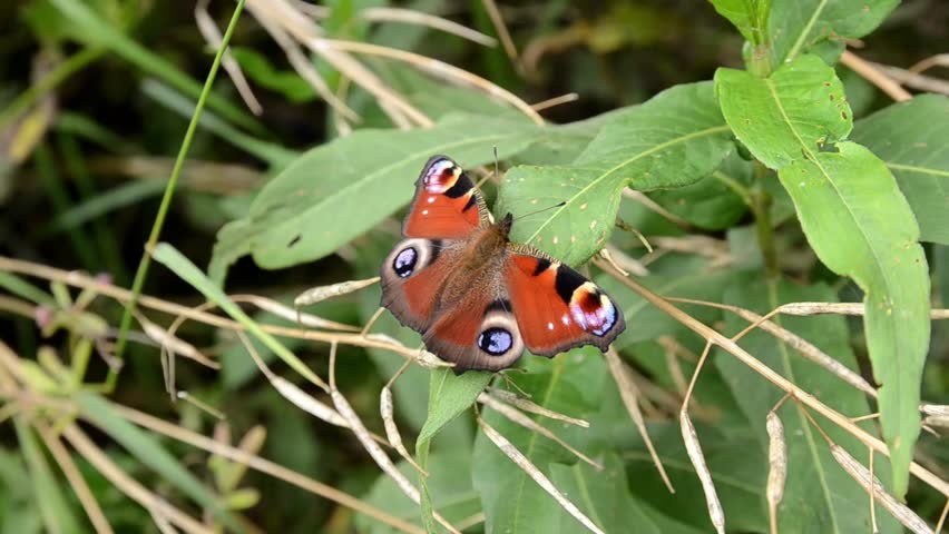 Peacock Butterfly Resting on a Leaf | Shutterstock HD Video #11002256