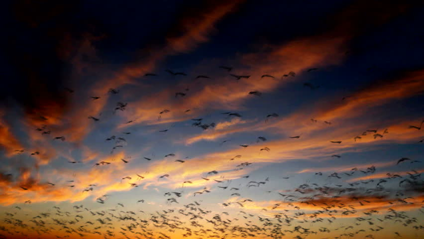 Birds fly against beautiful background of red-streaked sunset clouds in blue twilight. 1080p - HD stock video clip