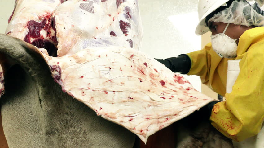 Close up shot of a slaughterhouse butcher skinning a cattle