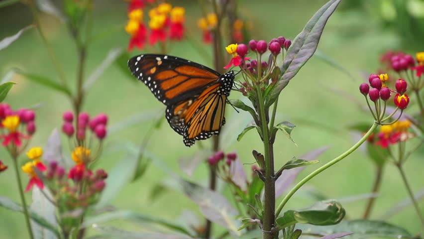 Monarch Butterfly Laying Eggs in Milkweed Plant Slow Motion 96fps - HD stock video clip