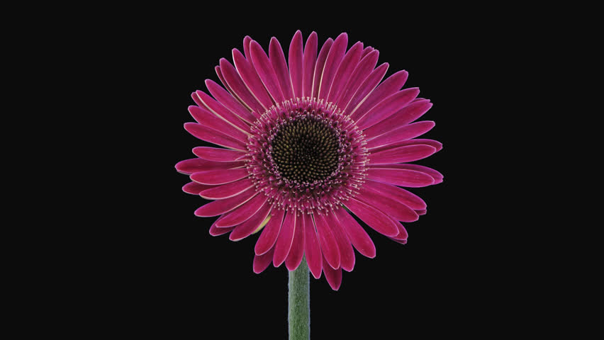 Time-lapse of growing and opening pink gerbera flower 4a4 in 4K PNG+ format with ALPHA transparency channel isolated on black background
