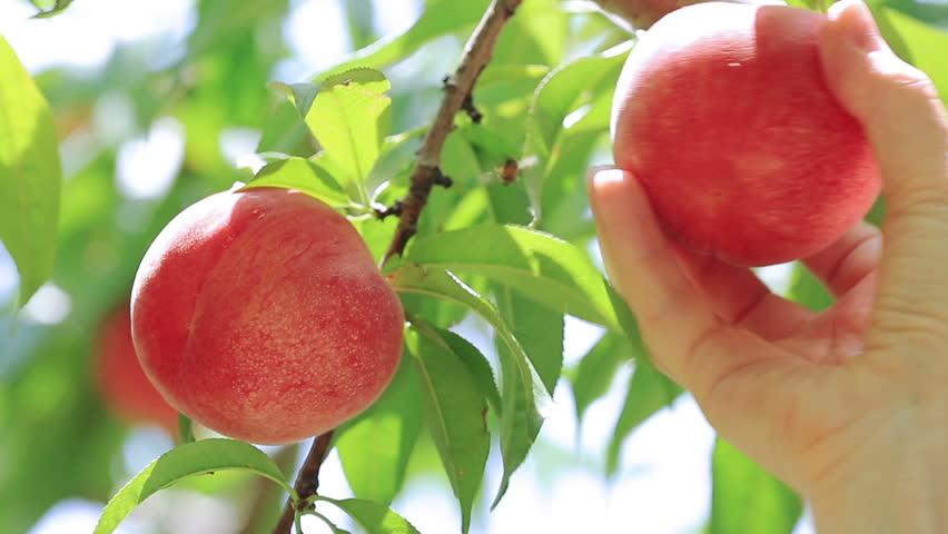 Picking peach fruit.