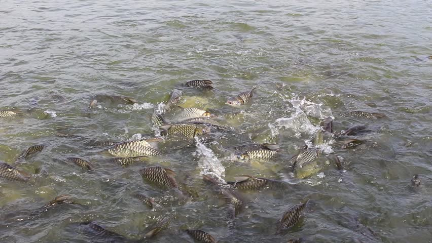 Java barb silver barb fish bustle eat feed in farm for Illinois fish farms