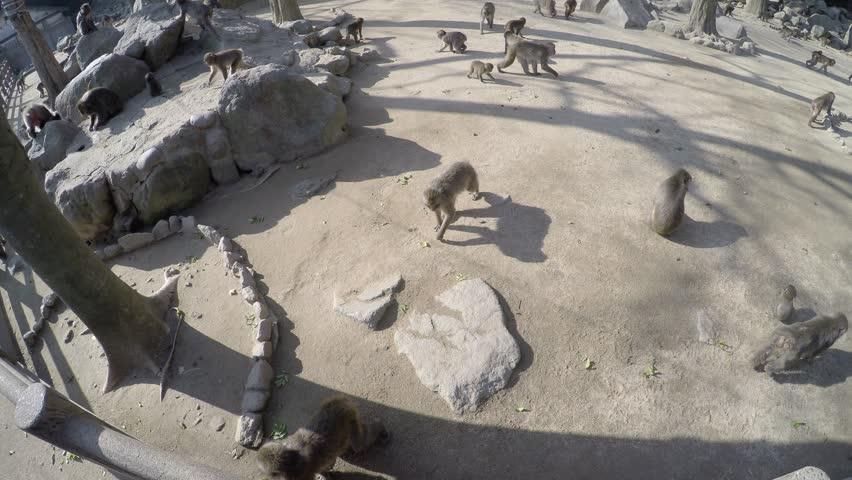 Monkeys At Zoo, Oita, Japan Stock Footage Video 8461675 - Shutterstock