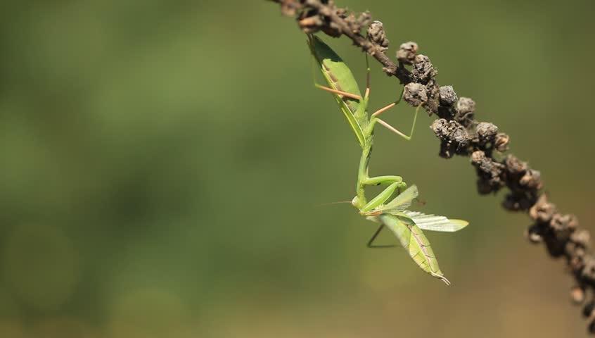 A praying mantis insect eats a mantis