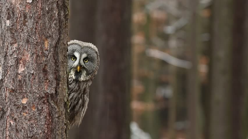 Great grey owl, Strix nebulosa, hidden of tree trunk in the winter forest, portrait with yellow eyes