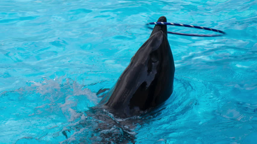 Dolphin Spins Hula hoop on the Nose