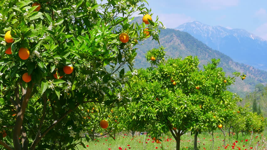 Winter change, Spring coming, orange trees over snowy mountain background