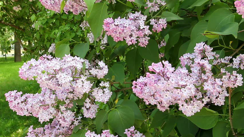 Lilac flower. A soft lilac color. Nature blooms. The wind touches the leaves and petals. Park forest. Summer is in full swing. - HD stock video clip