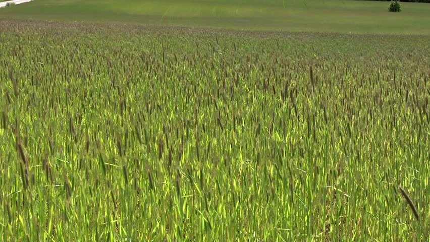 Rye field, Southern Finland - HD stock video clip
