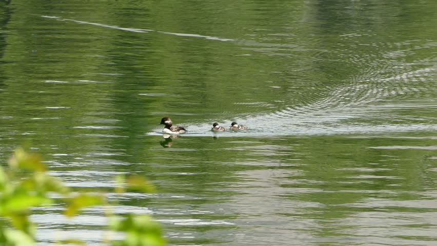 A mother duck and her babies swimming on a lake in  Lassen Volcanic National Park in California, United States of America.