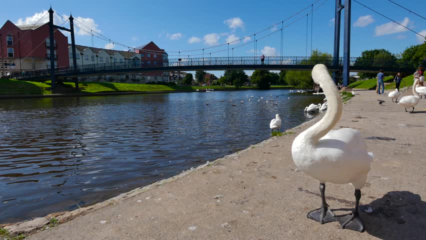 Exeter, Devon, UK  August 18th 2015: The waterfront on Exeter Quay, swans on the river Exe.  - 4K stock footage clip