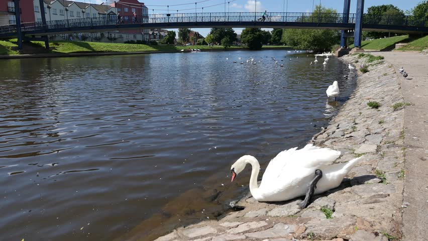 Exeter, Devon, UK  August 18th 2015: The waterfront on Exeter Quay, swans on the river Exe.  - 4K stock video clip