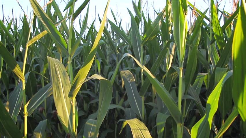 Walking Through A Field Of Corn