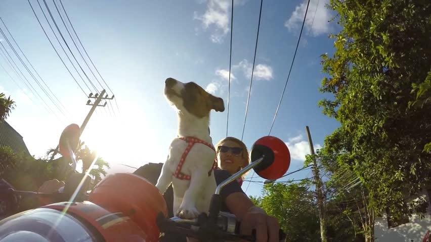 Cute Jack Russel Puppy Riding on Scooter on Tropical Road against Blue Sky. Slow Motion. HD, 1920x1080.