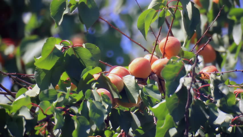 Mature apricots fruits on branchlet #11436686